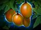 mango_tree_lg.png